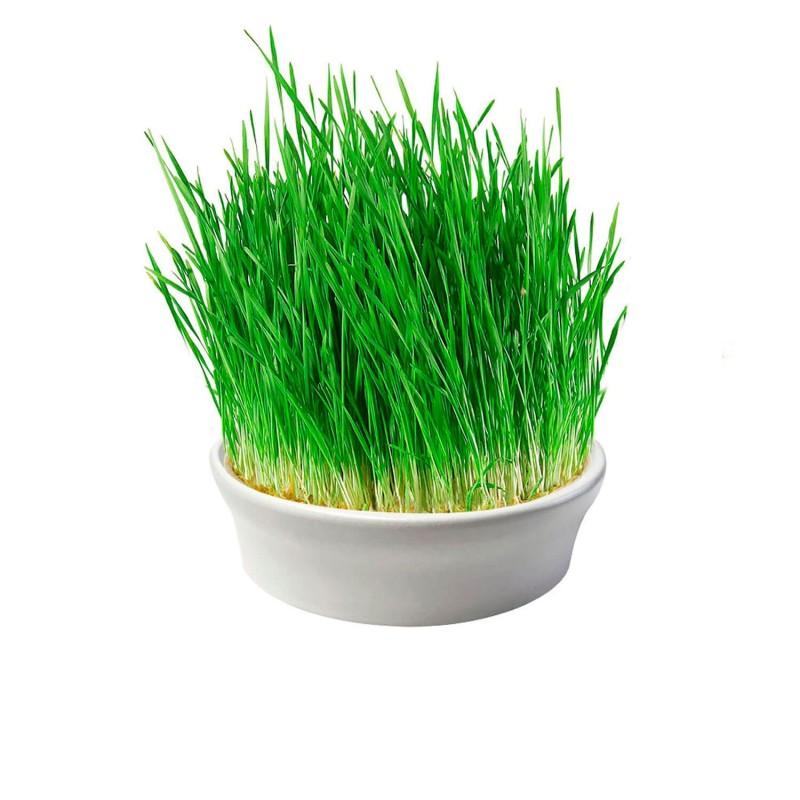 Germinador de hierba de trigo