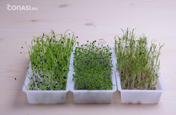 Semillas germinadas en Easygreen: cebolla, albahaca y zanahoria