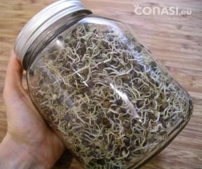 Lentejas germinadas 5 días