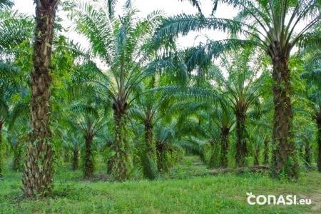 Palmeras de las que se obtiene el aceite de palma