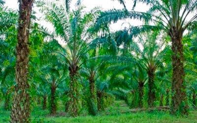 Aceite de palma: ¿una amenaza para la salud y el medio ambiente?