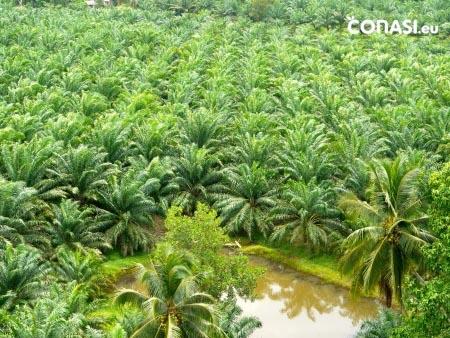 Plantación de palmas de aceite