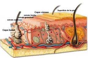 Imagen de las capas de la piel