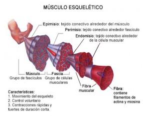Partes del músculo esquelético