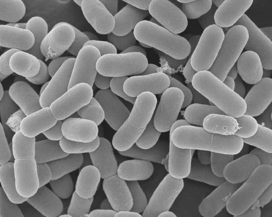 Lactobacterias