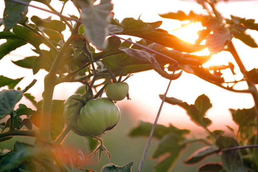 Una tomatera y el atardecer al fondo - ALimentos que enfrían, alimentos que calientan