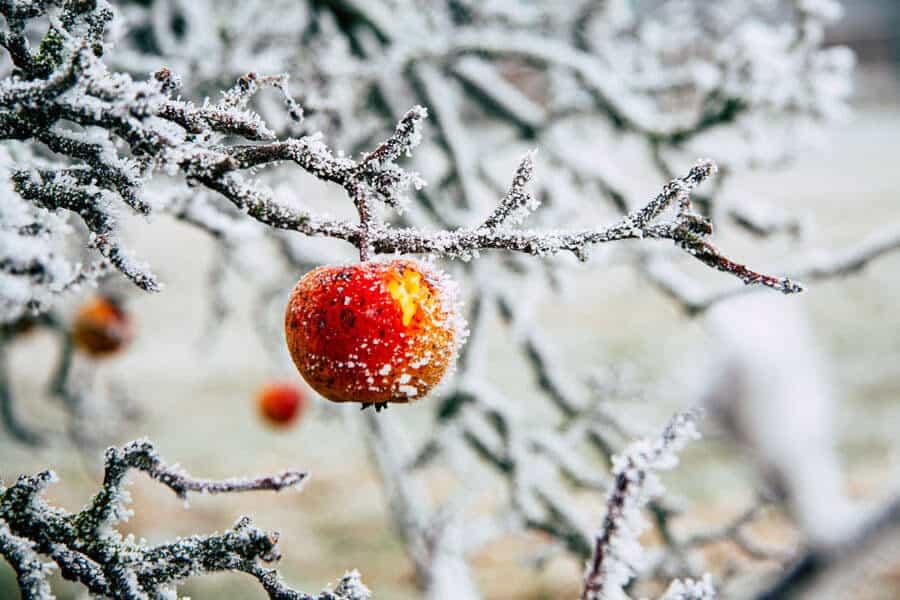 Una manzana en el árbol con nieve - Alimentación en invierno