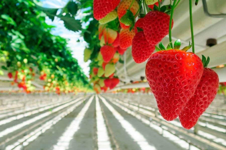 Fresas cultivadas en invernadero - Propósitos sostenibles año nuevo