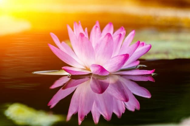 Flor de loto morada - Prevención del coronavirus