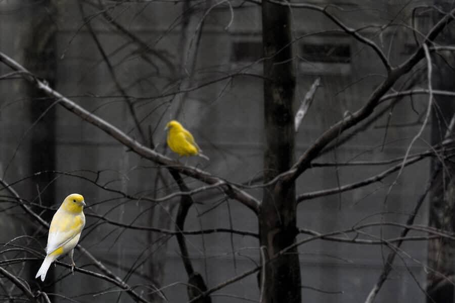 Dos canarios en un árbol - PTFE