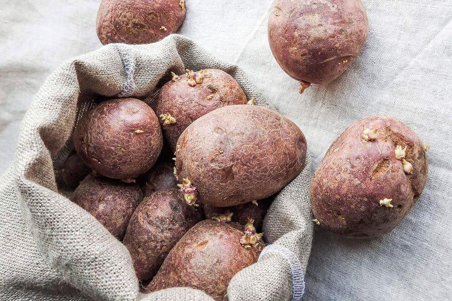 Alimentos irradiados: Patatas sin irradiar con yemas de germinación
