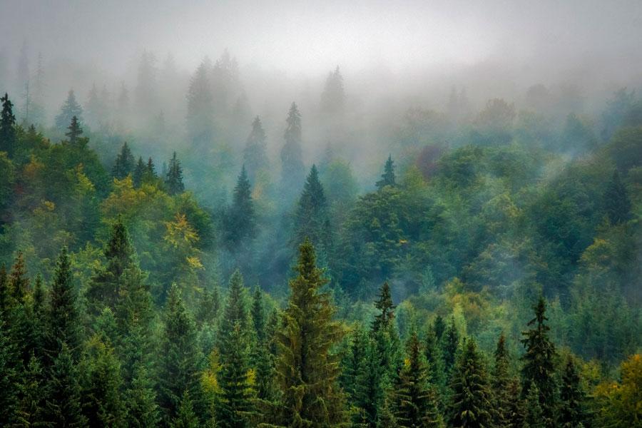 Bosque de coníferas con niebla